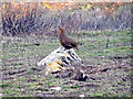 SE5392 : Red grouse, Hawnby Moor by Maigheach-gheal