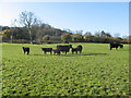 ST5959 : Grazing cattle in pasture by Dr Duncan Pepper