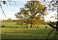 SU9182 : Oak and cattle, Hitcham Park by Derek Harper