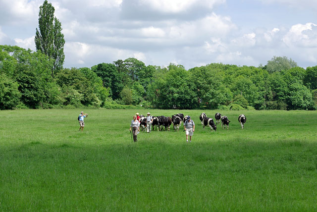 Walkers and cattle
