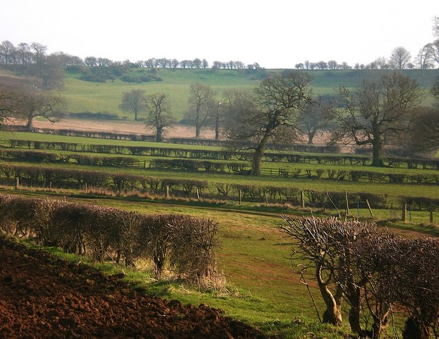 Oaks and hedges at Branston, near Croxton Kerrial