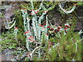 NY6475 : Flora on the sheepfold by Spur Rigg by Mike Quinn
