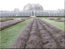 TQ1876 : Frosted lavender by Palm House, Kew Gardens by David Hawgood