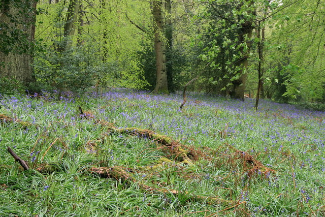 Bluebells, Nower Wood