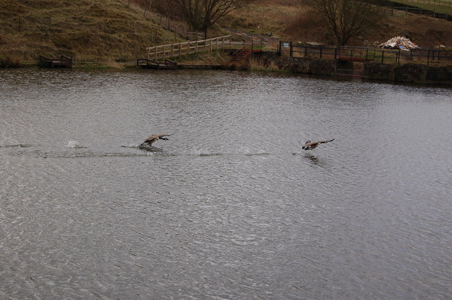 Geese on Jack Lodge
