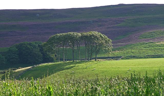 Beeches near Cartington