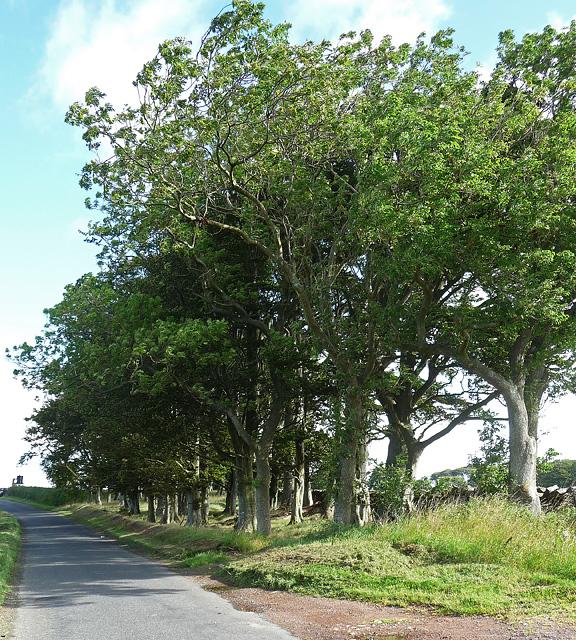 Trees near Cartington