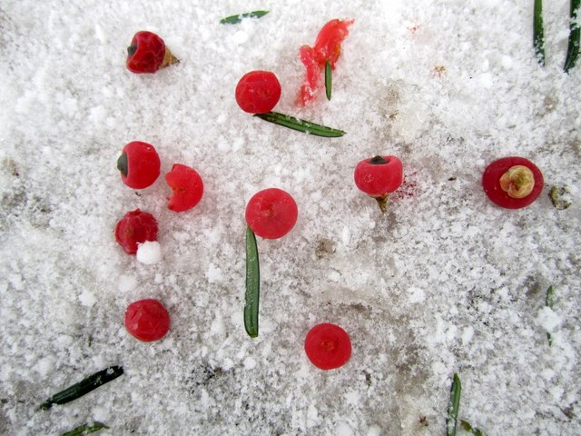 Yew berries in the snow, Close House