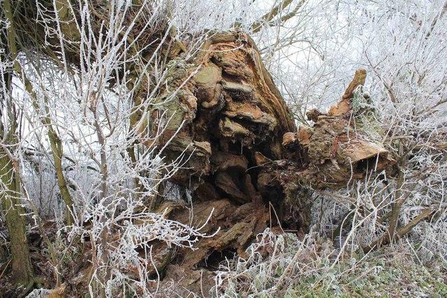 Tree stump by Billesley Brake