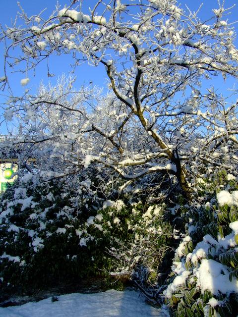 Winter Flowering Cherry tree at Glasgow Airport