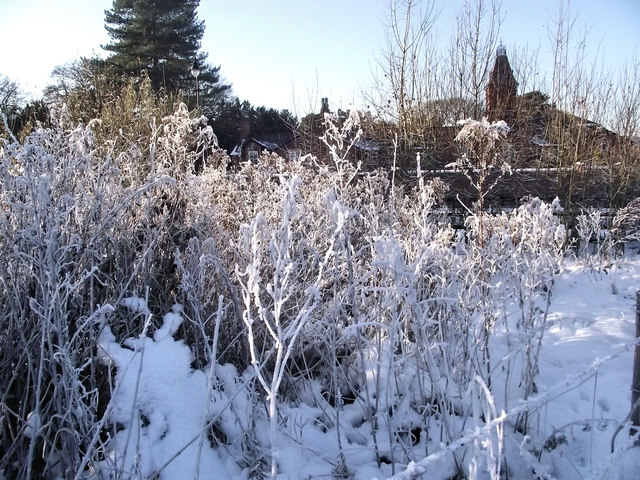 Frosty Willowherb