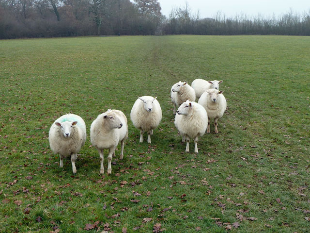 Seven smiling sheep?