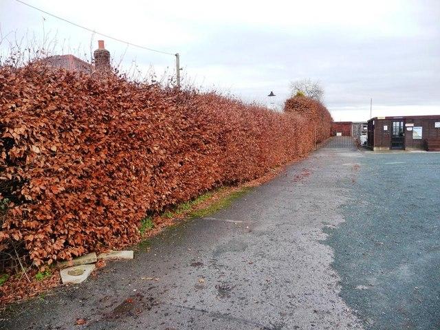 Copper Beech Hedge In Winter