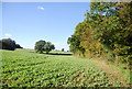 TQ8524 : The edge of a large field of sugar beet by N Chadwick