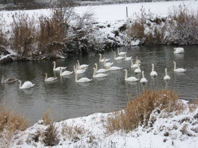 Swan herding at Bear Mead, Dorset