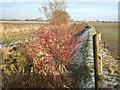 TF5116 : Red berries, Joice Lane, Walpole St Peter, Norfolk by Richard Humphrey