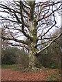 SW6443 : Beech tree in Tehidy Woods by Rod Allday