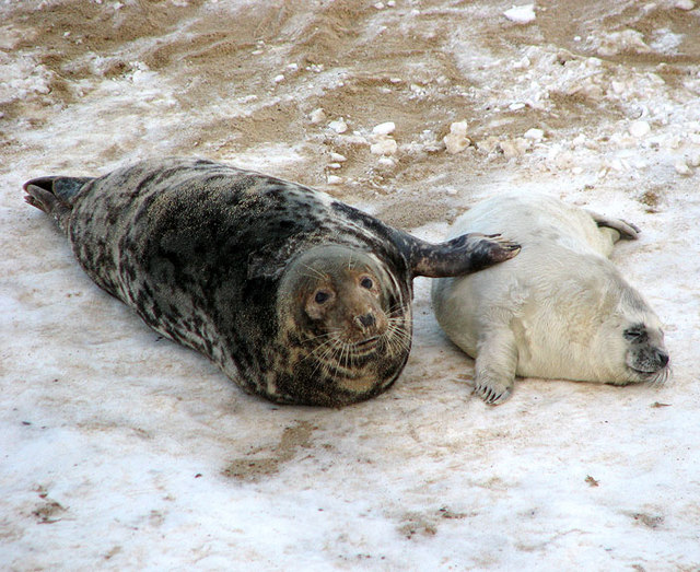 Grey seals (Halichoerus grypus) - mother and pup