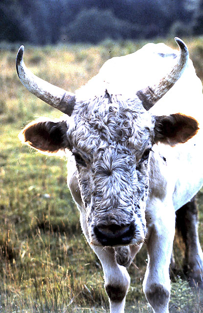 Young bull of the Chillingham herd of wild white cattle