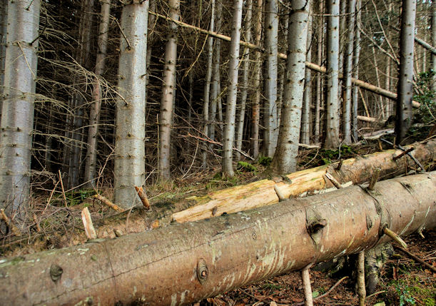 Trees and fallen trees, Donard forest, Newcastle