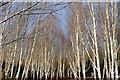 TL5362 : Himalayan Birch by Ashley Dace