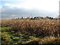 TG3606 : A crop of maize and sorghum beside School Road, Hassingham by Evelyn Simak