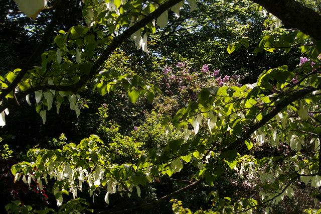 "Polesden Lacey: ""Pocket-Handkerchief Tree"" in flower"
