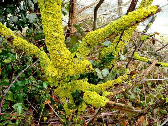 Rutland lichen