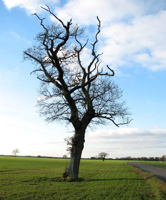 Solitary tree in field beside Winfarthing Road