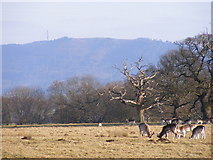 SJ5509 : Wrekin Deer by Gordon Griffiths