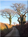 SW8457 : Oak trees on a minor road near Trewerry Mill by Rod Allday