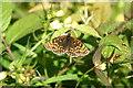 TQ8392 : Heath Fritillary Butterfly by Belinda Sims