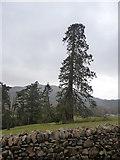 SH7519 : Pine tree in grounds of Dolserau Hall hotel by liz dawson