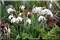 TQ3499 : Snowdrops, Myddelton House Gardens, Enfield by Christine Matthews