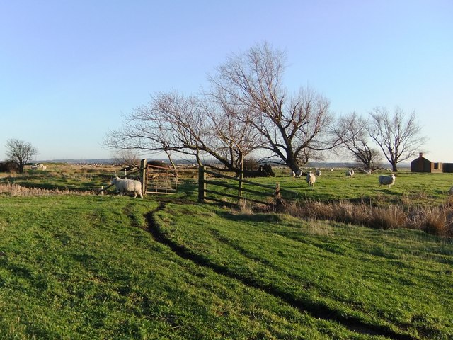 Sheep at 'The Poplars', Cliffe Marshes