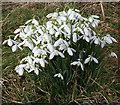 NJ6163 : Snowdrops (Galanthus nivalis) by Anne Burgess