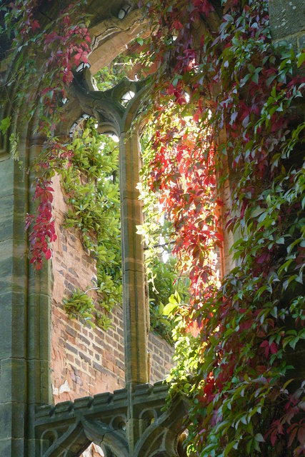 Virginia creeper on Window
