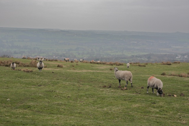 Sheep grazing in Stocks Hill