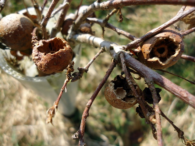 Predated oak marble galls