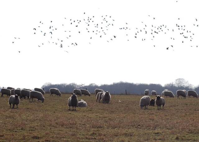Sheep and rooks on Seighford Airfield