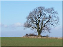 SE2187 : Winter tree in arable field by Christine Johnstone