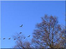 NS2472 : Geese at Cornalees by Thomas Nugent