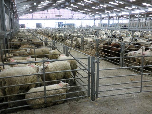 Sheep Pens Sedgemoor Auction Centre 169 Roger Cornfoot