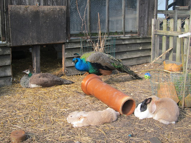 Peafowl and Rabbits