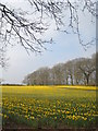 SW7630 : Small Daffodil field at Penwarne by Rod Allday
