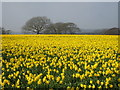 SW7630 : Field of daffodils at Penwarne by Rod Allday