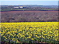 SW7630 : Field of daffodils at Higher Tregarne by Rod Allday