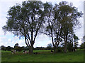 TM3389 : Cattle and trees on the marshes near Earsham by Glen Denny