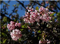 SX9164 : Viburnum in flower, Torquay by Derek Harper