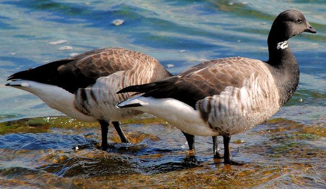 Geese, Belfast Lough